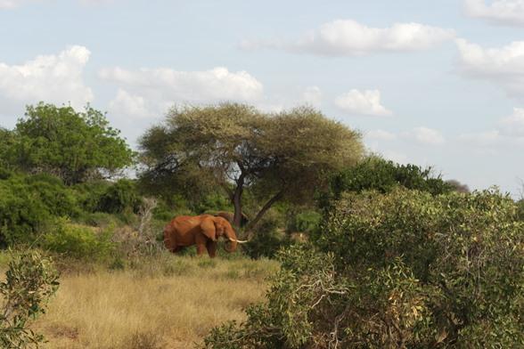 Elefante Tsavo East